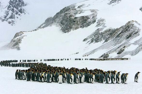 pinguino-rey